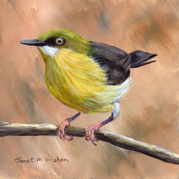 """""""Green Capped Eremomela"""" original fine art by Janet Graham"""