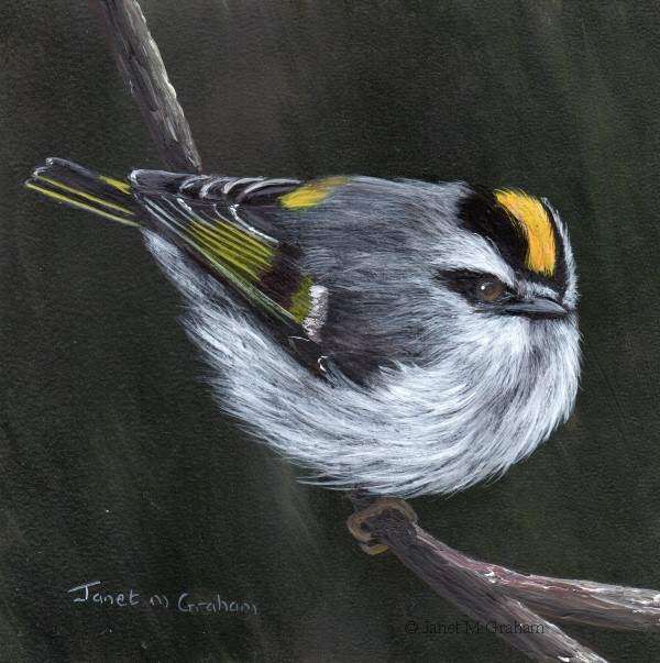 """Golden Crowned Kinglet No 4"" original fine art by Janet Graham"