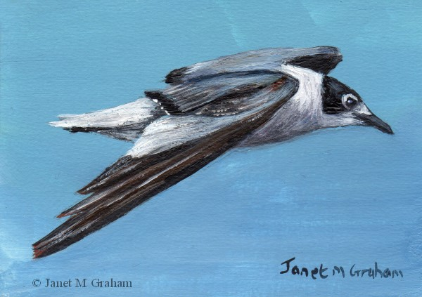 """Franklin's Gull ACEO"" original fine art by Janet Graham"