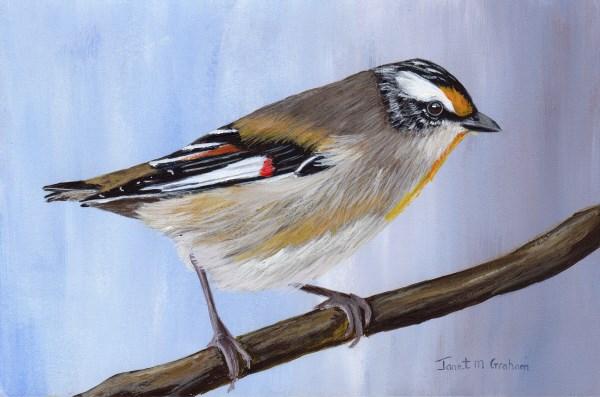 """Striated Pardalote"" original fine art by Janet Graham"