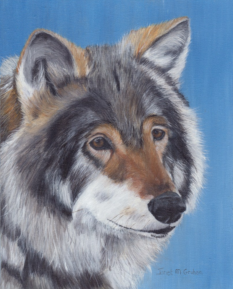 """Wolf"" original fine art by Janet Graham"