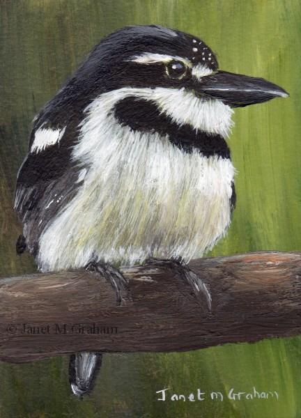 """""""Pied Puffbird ACEO"""" original fine art by Janet Graham"""