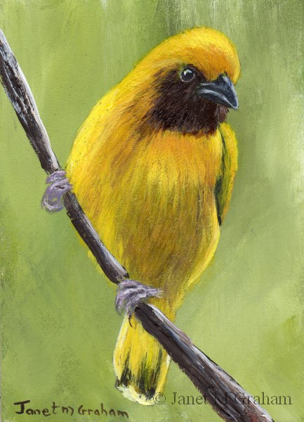 """Southern Brown Throated Weaver ACEO"" original fine art by Janet Graham"