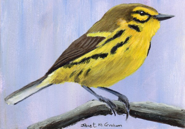 """Prairie Warbler ACEO"" original fine art by Janet Graham"