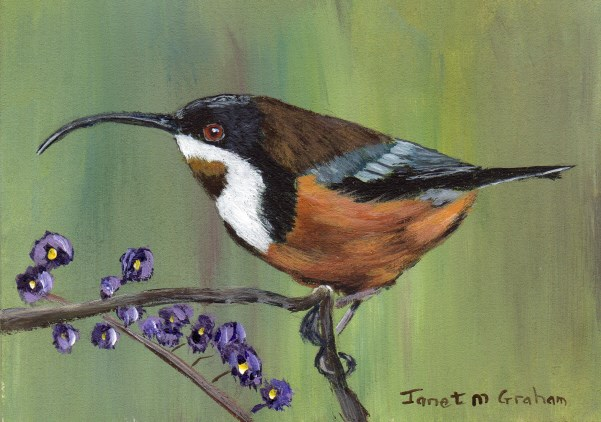 """Eastern Spinebill ACEO"" original fine art by Janet Graham"