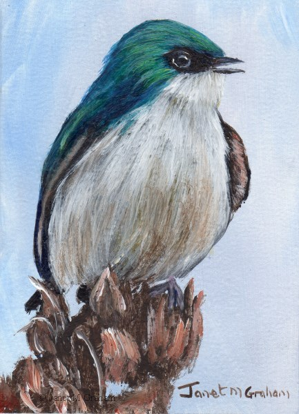 """""""Tree Swallow ACEO"""" original fine art by Janet Graham"""