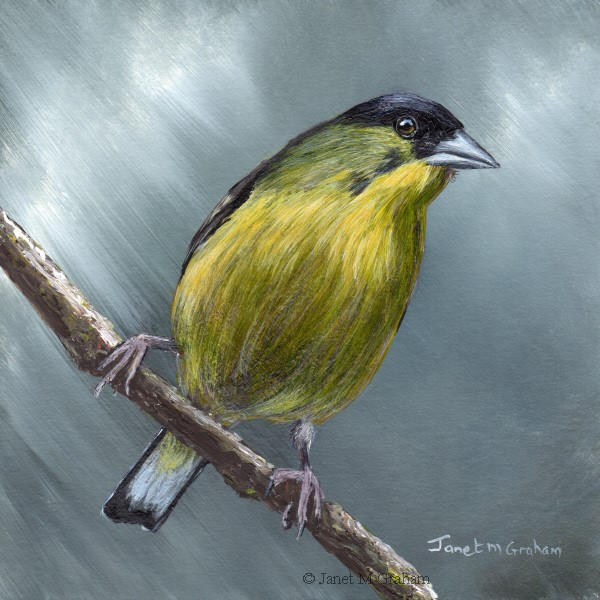 """Lesser Goldfinch No 2"" original fine art by Janet Graham"