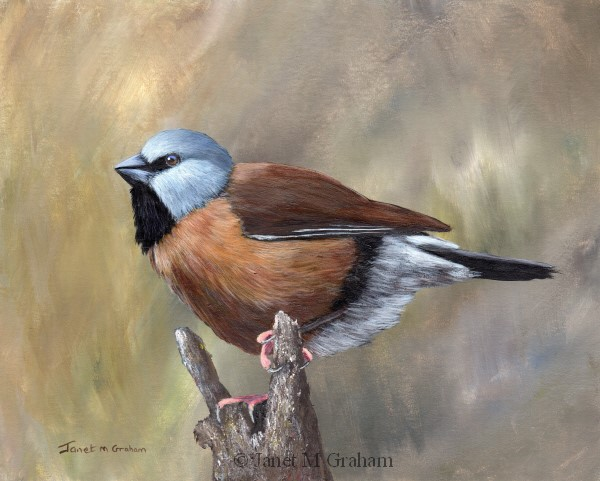 """Black Throated Finch"" original fine art by Janet Graham"