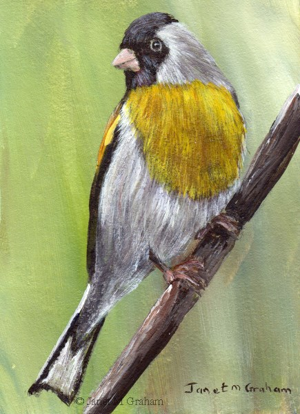 """""""Lawrence's Goldfinch ACEO"""" original fine art by Janet Graham"""