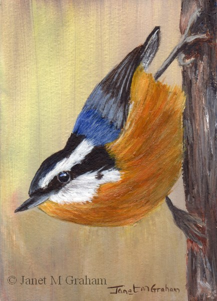 """""""Red Breasted Nuthatch ACEO"""" original fine art by Janet Graham"""