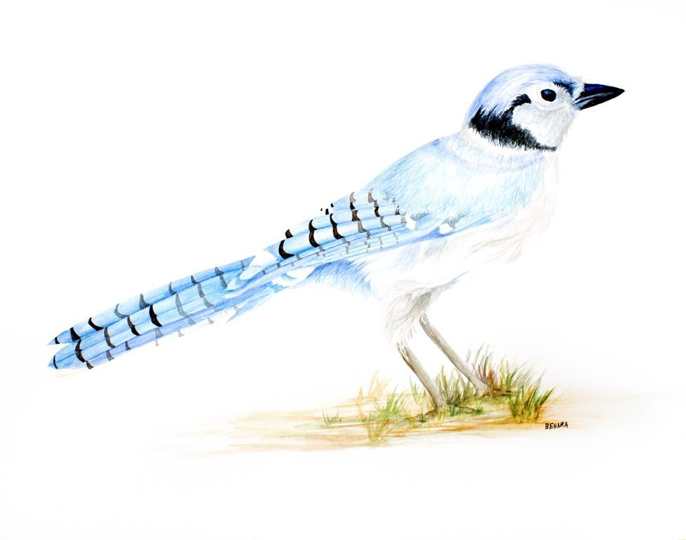 """Blue jay"" original fine art by Cory Behara"