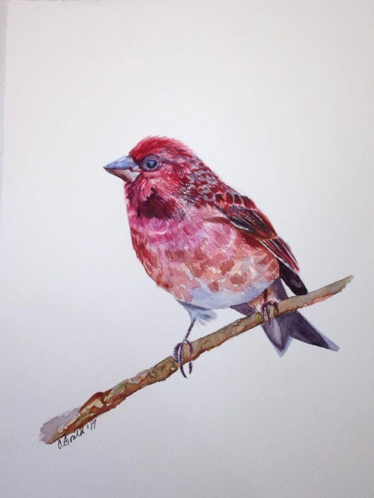 """Purple Finch"" original fine art by Carrie Gould"
