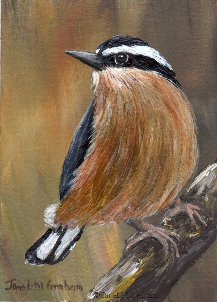 """""""Red Breasted Nuthatch No 2 ACEO"""" original fine art by Janet Graham"""