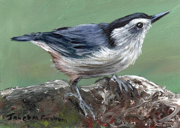 """""""White Breasted Nuthatch ACEO"""" original fine art by Janet Graham"""