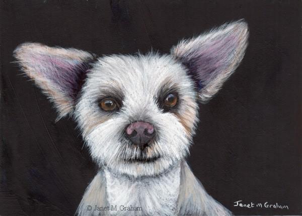 """Maltese Pup"" original fine art by Janet Graham"