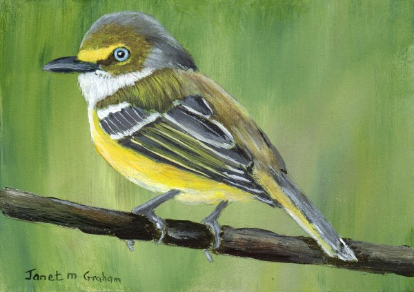 """""""White - Eyed Vireo ACEO"""" original fine art by Janet Graham"""