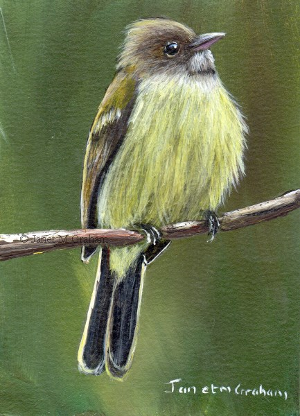 """""""Southern Beardless Tyrannulet ACEO"""" original fine art by Janet Graham"""