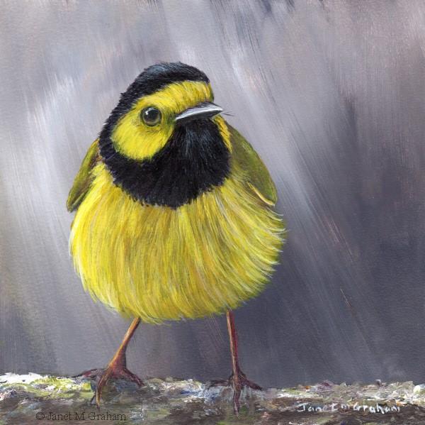 """""""Hooded Warbler No 3"""" original fine art by Janet Graham"""