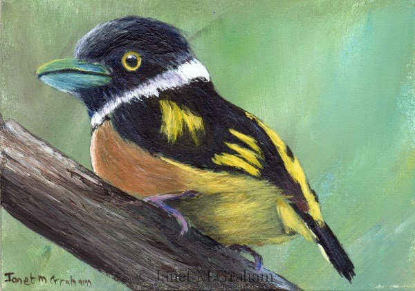 """""""Black and Yellow Broadbill ACEO"""" original fine art by Janet Graham"""