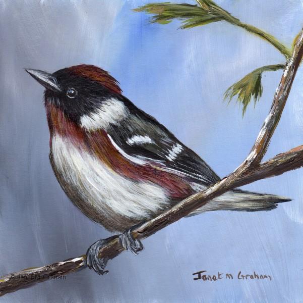 """""""Bay Breasted Warbler"""" original fine art by Janet Graham"""