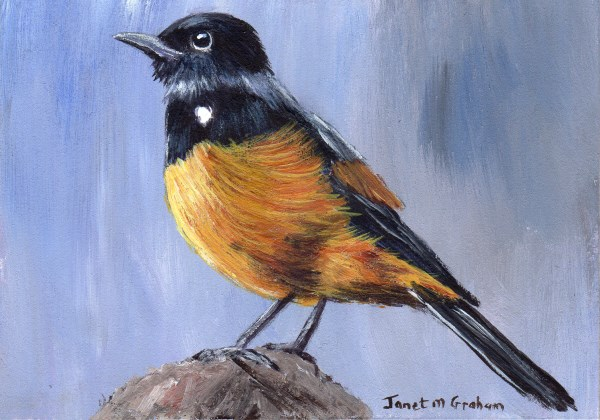 """""""Mocking Cliff Chat ACEO"""" original fine art by Janet Graham"""