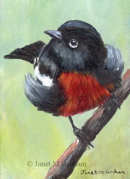 """Painted Redstart ACEO"" original fine art by Janet Graham"