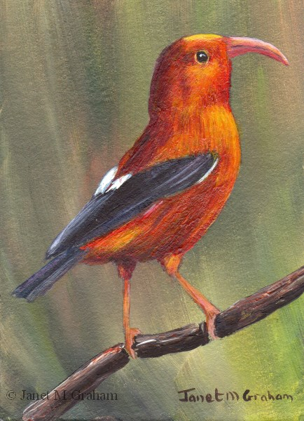 """""""I'iwi ACEO"""" original fine art by Janet Graham"""