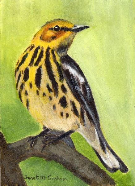 """""""Cape May Warbler ACEO"""" original fine art by Janet Graham"""