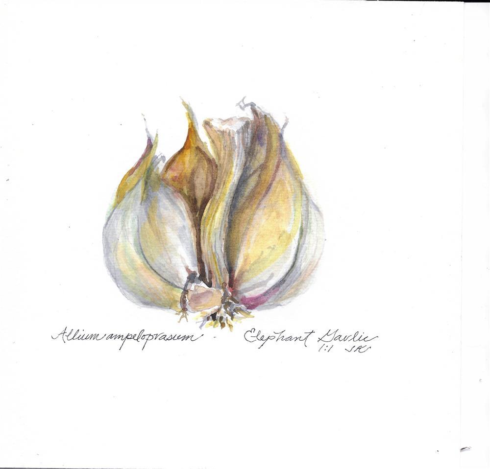 """Alium ampeloprasum - Elephant Garlic"" original fine art by Jean Krueger"