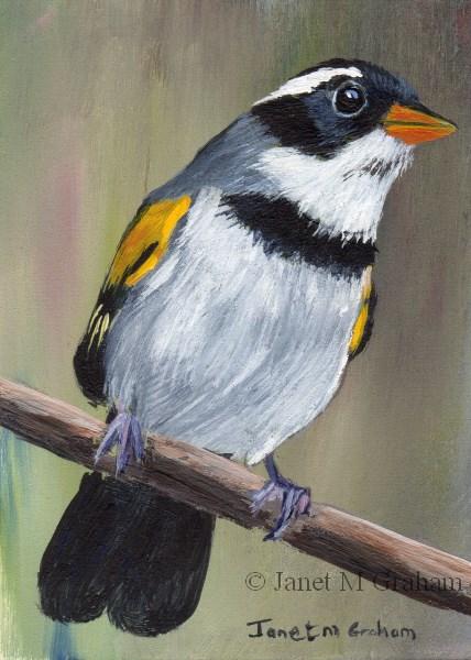"""Saffron Billed Sparrow ACEO"" original fine art by Janet Graham"