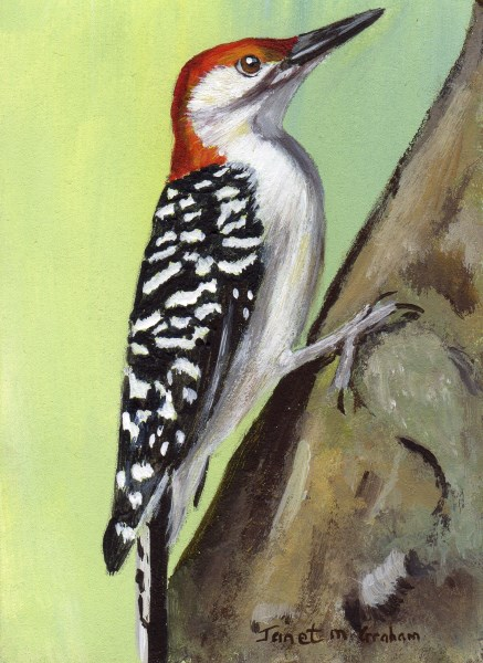 """Red - Bellied Woodpecker ACEO"" original fine art by Janet Graham"