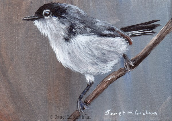 """Black Tailed Gnatcatcher ACEO"" original fine art by Janet Graham"