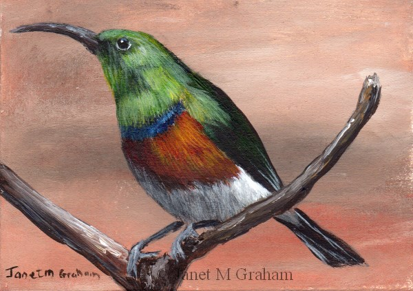 """Greater Double Collared Sunbird ACEO"" original fine art by Janet Graham"