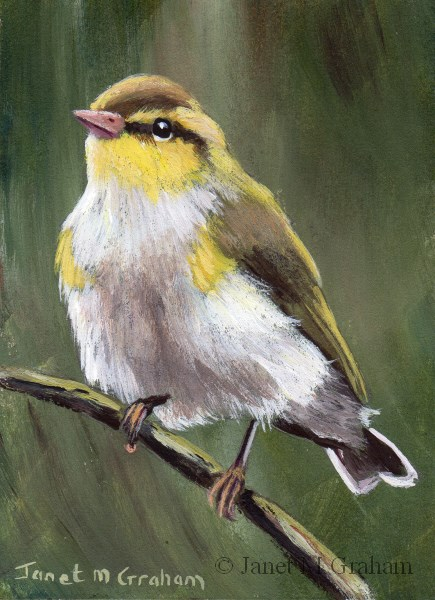 """Wood Warbler ACEO"" original fine art by Janet Graham"
