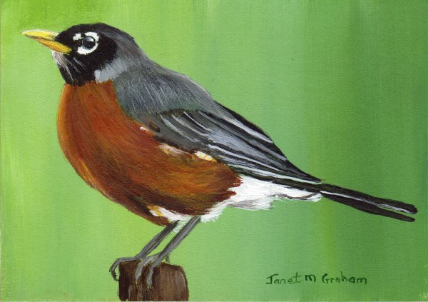 """""""American Robin ACEO"""" original fine art by Janet Graham"""