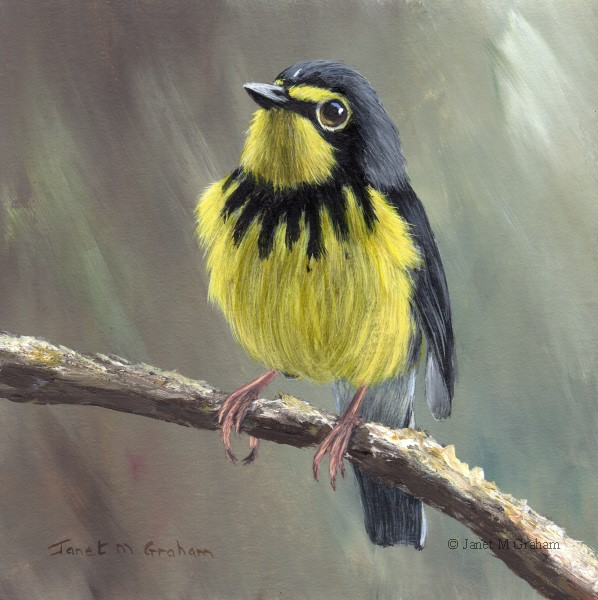 """Canada Warbler No 2"" original fine art by Janet Graham"