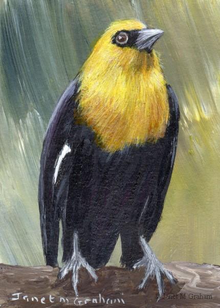 """Yellow Headed Blackbird ACEO"" original fine art by Janet Graham"