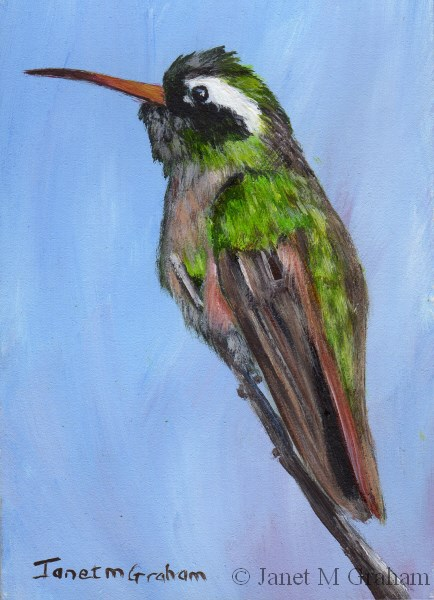 """Xantus's Hummingbird ACEO"" original fine art by Janet Graham"