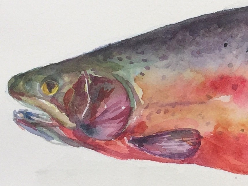 """""""Cutthroat Trout"""" original fine art by Jean Krueger"""