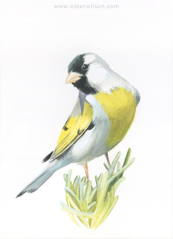 """Lawrence's Goldfinch"" original fine art by Ester Wilson"