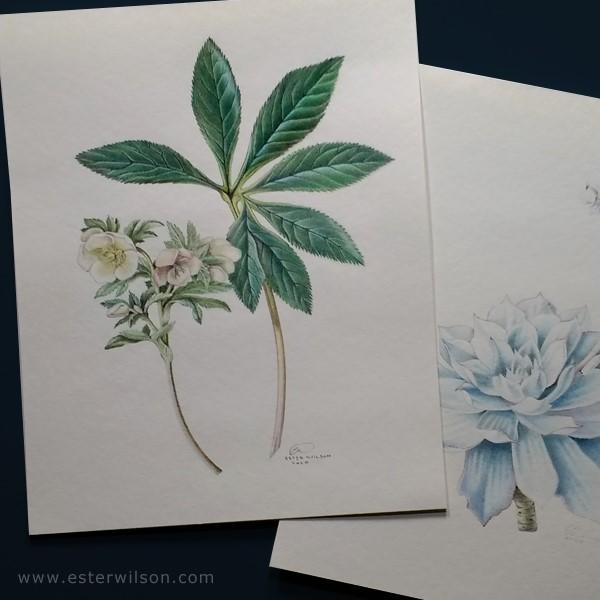 """Hellebores Botanical"" original fine art by Ester Wilson"