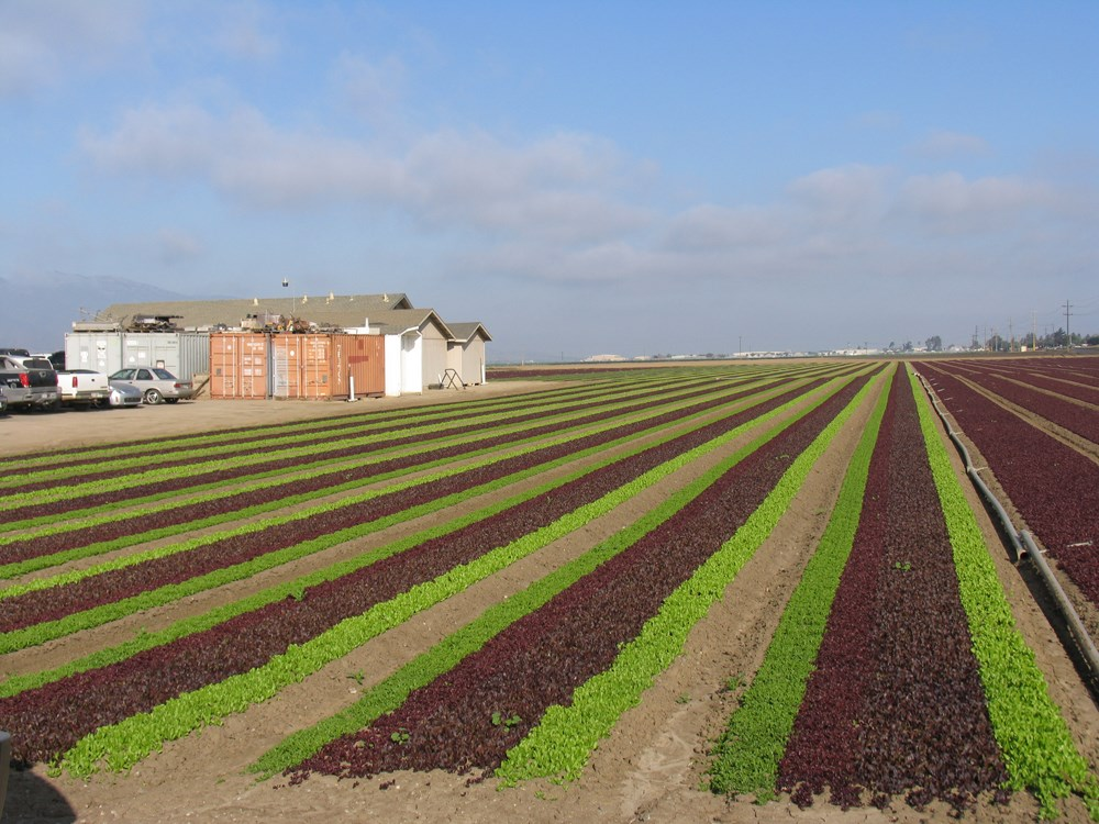 """Salinas Valley Lettuce Farm"" original fine art by Rhett Regina Owings"