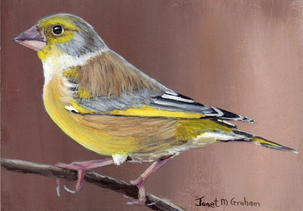 """""""Greenfinch ACEO"""" original fine art by Janet Graham"""