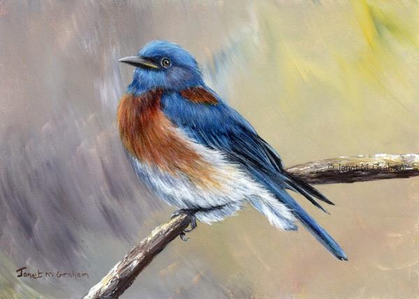 """Western Bluebird No 2"" original fine art by Janet Graham"