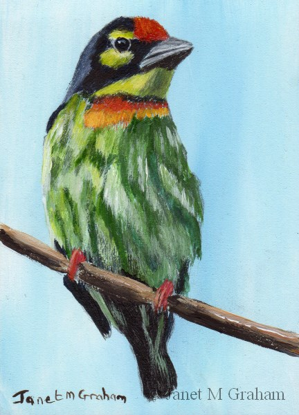 """Coppersmith Barbet ACEO"" original fine art by Janet Graham"