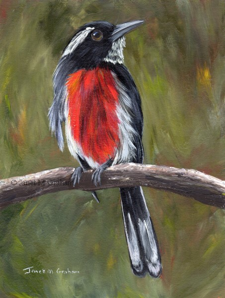 """Red Breasted Chat"" original fine art by Janet Graham"