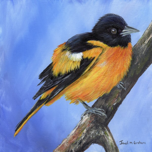 """Baltimore Oriole"" original fine art by Janet Graham"