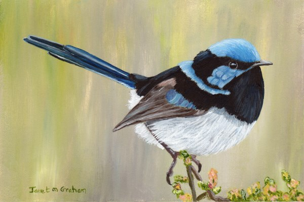 """Superb Fairy Wren"" original fine art by Janet Graham"