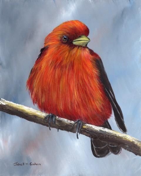 """Scarlet Tanager No 4"" original fine art by Janet Graham"