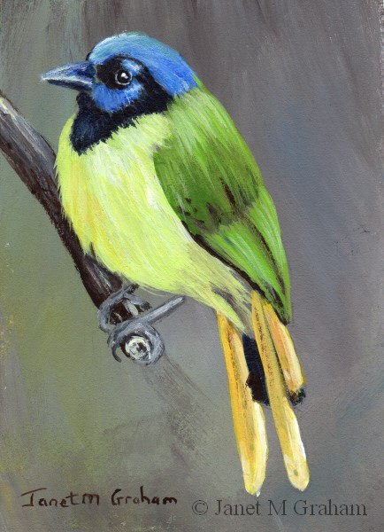 """Green Jay ACEO"" original fine art by Janet Graham"